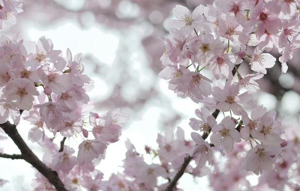 Picture the sky, macro, light, trees, flowers, branches, cherry, branch, ease, tenderness, spring, petals, Sakura, pink, …