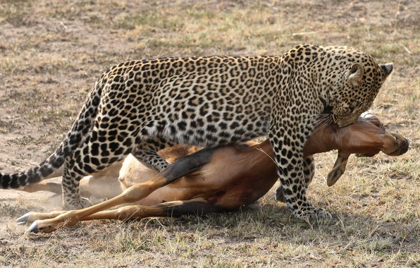 Picture cat, leopard, hunting, antelope, carcass