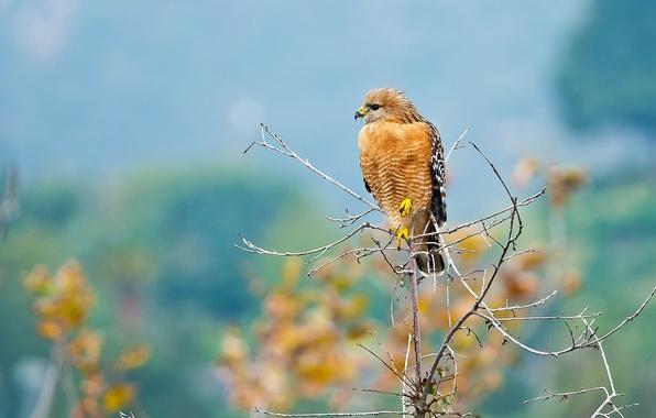 Picture background, bird, predator, branch, hawk