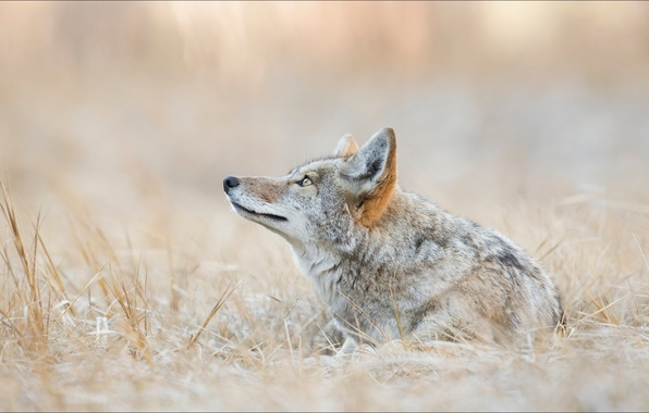Picture animals, wolves, coyote