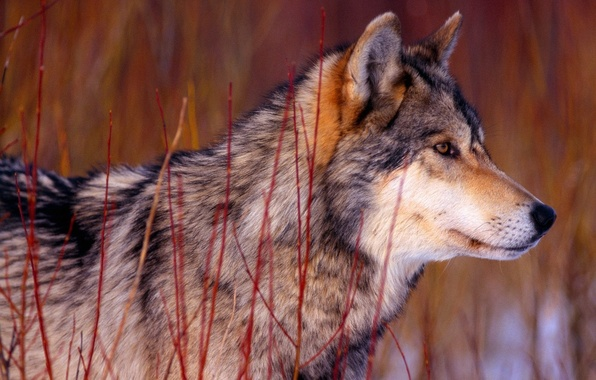 Picture face, wolf, wool, profile