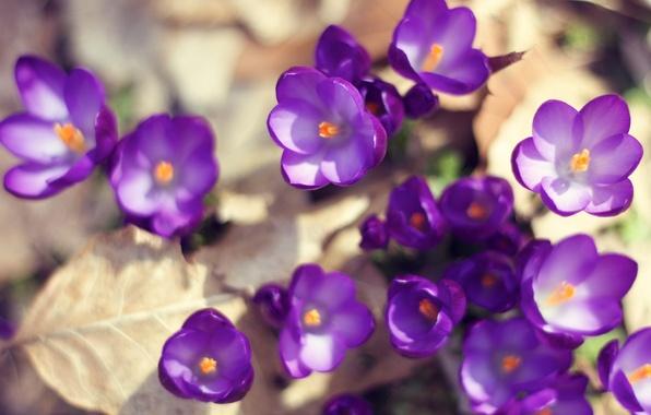 Picture leaves, the sun, macro, light, flowers, nature, earth, spring, purple, crocuses