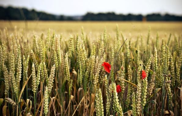 Picture wheat, field, flower, flowers, red, background, widescreen, Wallpaper, rye, spikelets, wallpaper, ears, flowers, flower, widescreen, …