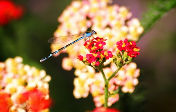 Picture flowers, insects, Dragonfly