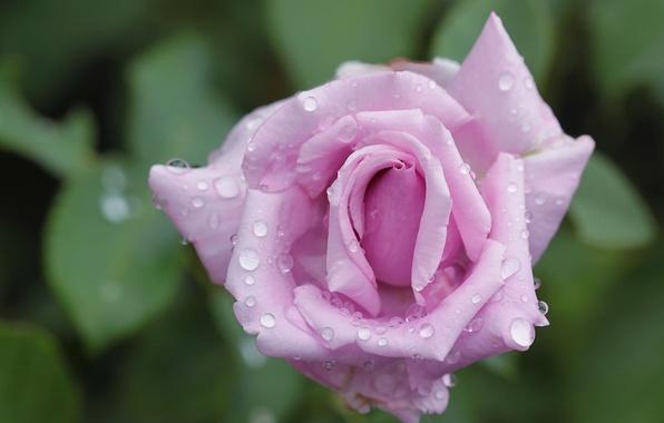 Picture drops, macro, rose, petals, Bud