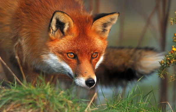 Picture grass, eyes, Fox, Fox, red, fauna