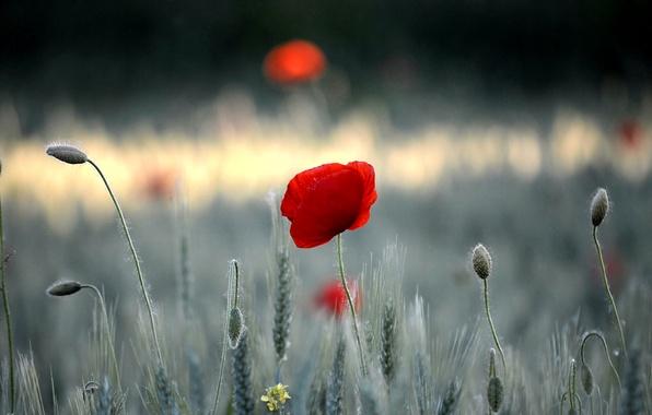 Picture field, flower, grass, Mac, petals, meadow