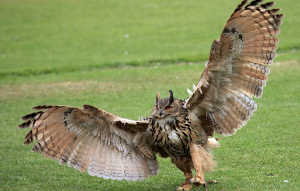Picture BACKGROUND, GRASS, WINGS, PAWS, OWL, CLAWS, GREEN, ROSMAH