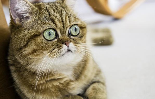 Picture eyes, cat, look, Koshak, Tomcat, Shorthair