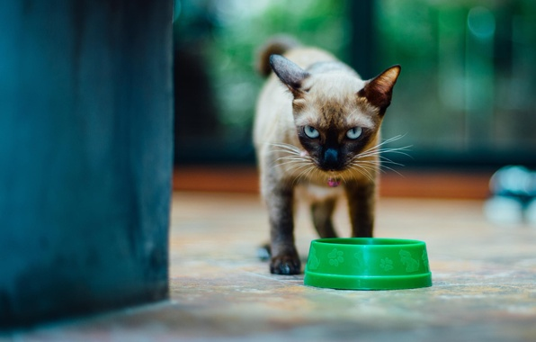 Picture cat, look, kitty, bowl, Siamese