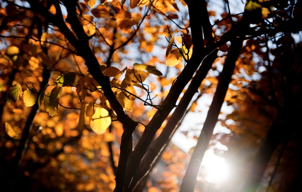 Picture leaves, the sun, macro, rays, trees, orange, branches, yellow, background, tree, widescreen, Wallpaper, blur, branch, …
