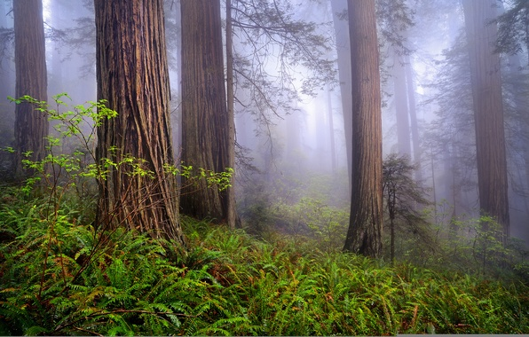 Picture forest, nature, fog, spring, morning, CA, USA, Redwoods, By Rob Macklin