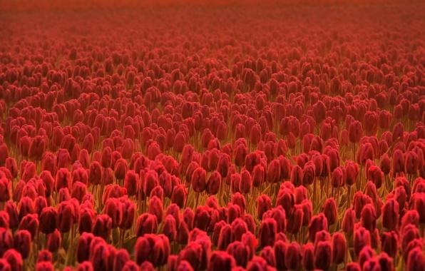 Picture field, flower, summer, flowers, freshness, field, spring, tulips, red, flowers, spring flowers, Cass, summer flowers