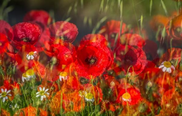 Picture field, grass, flowers, Maki, chamomile