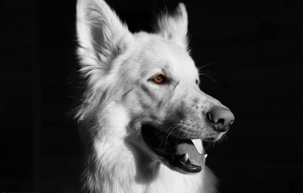 Picture Dog, black background, black and white, white dog, BSO., white shepherd