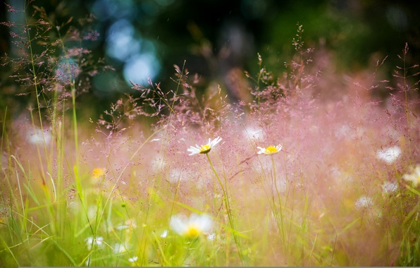 Picture summer, grass, flowers, nature, chamomile, Meadow, bokeh