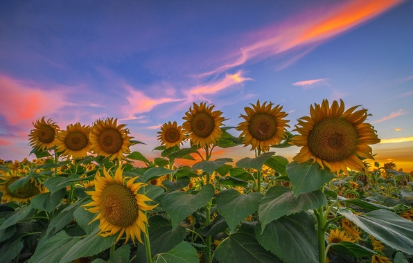 Picture field, summer, sunflowers, sunset, the evening