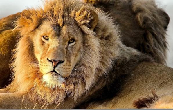 Picture mustache, face, predator, Leo, mane, looks, lion, panthera leo