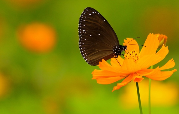 Picture flower, butterfly, wings, point, stem, antennae, flower, wings, butterfly, bokeh, bokeh, dots, proboscis, stalk, antennae, …