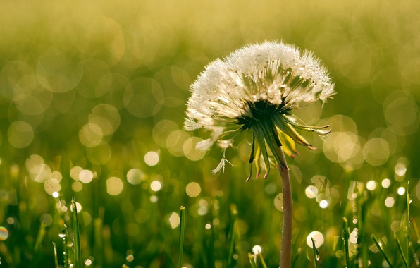 Photo wallpaper summer, dandelion, drops