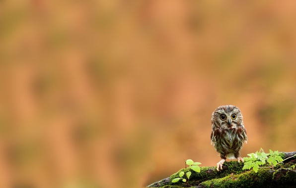 Picture owl, bird, moss, branch, chick, owlet