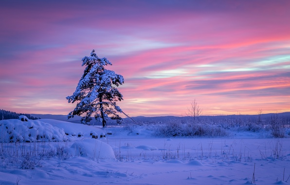 Picture the snow, snow, winter, Sweden, Varmland County, pine, tree, Sweden, Arvika, Varmland County, Arvika, sunset