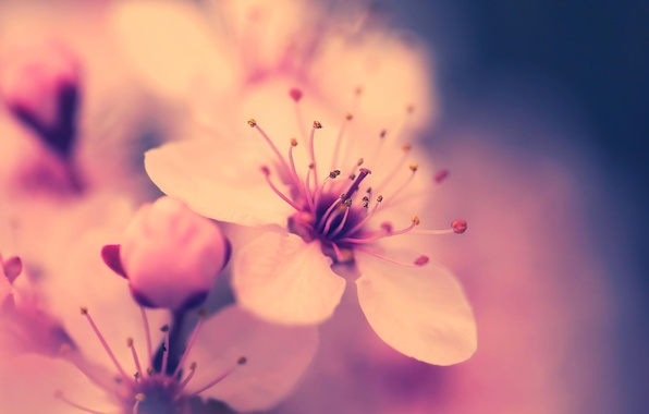 Picture flower, macro, cherry, pink, spring, Sakura, flowering