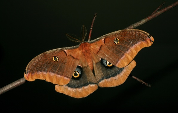 Picture butterfly, wings, branch, antennae, black background
