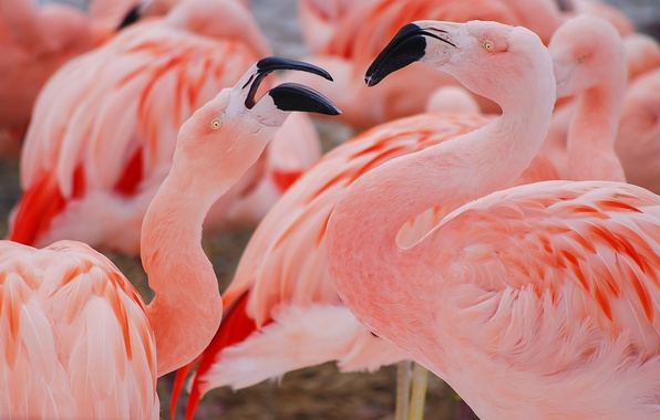 Picture birds, pink, Flamingo