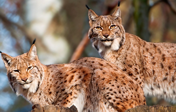Picture forest, cat, nature, pair, lynx