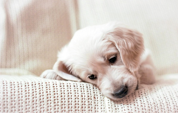 Picture muzzle, puppy, plaid, Golden Retriever