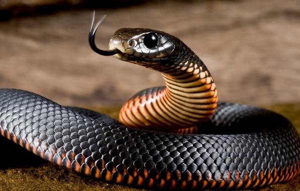 Picture Language, Snake, Red, Black, Black, Belly