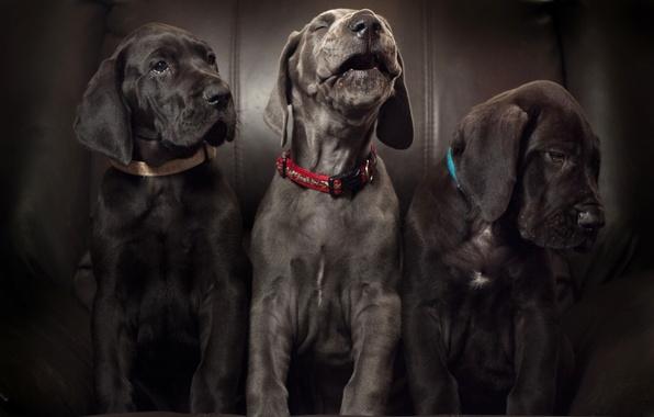 Picture dogs, puppies, trio, Aria, Trinity, Great Dane, solo