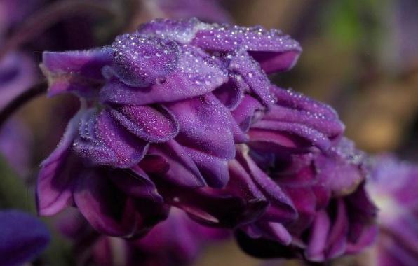 Picture flower, purple, drops, petals, Wet wisteria