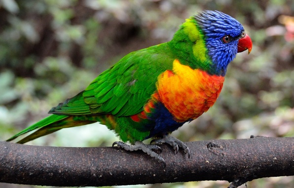 Picture bird, color, branch, feathers, parrot