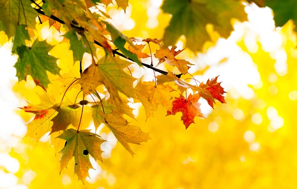 Picture autumn, leaves, tree, branch, yellow, maple