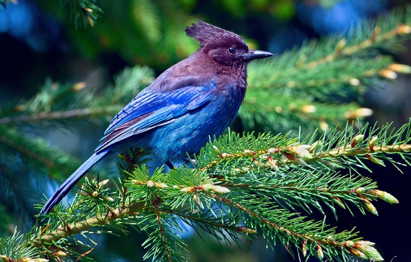 Picture forest, light, branches, tree, spruce, feathers, Bird, purple, blue, curly Jay