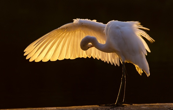 Picture bird, wing, white, Heron