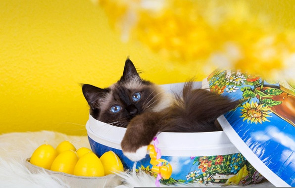 Picture cat, cat, yellow, kitty, background, box, fluffy, lies