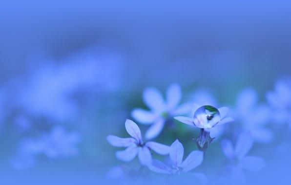 Picture water, macro, flowers, plant, color, drop, petals, blue, blue