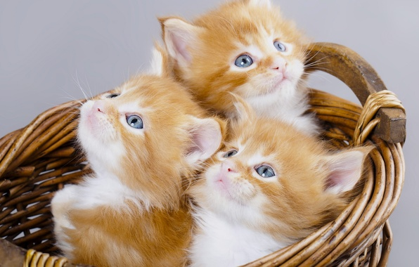 Picture basket, kittens, red, trio, Maine Coon, Trinity, blue eyes