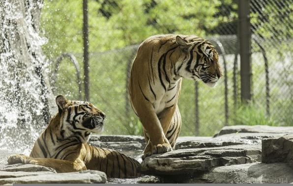 Picture predators, bathing, pair, wild cats, tigers, zoo