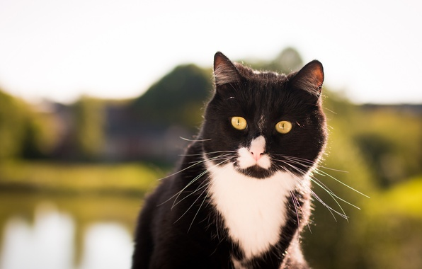 Picture cat, black and white, looks