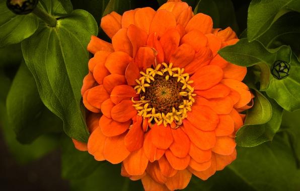 Picture leaves, macro, Zinnia