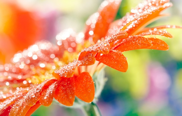 Picture flower, drops, macro, orange, petals, blur, gerbera