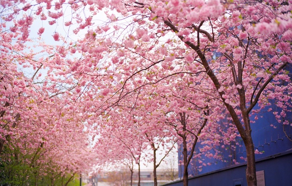Picture flowers, branches, Tree, spring, Sakura, pink, flowering
