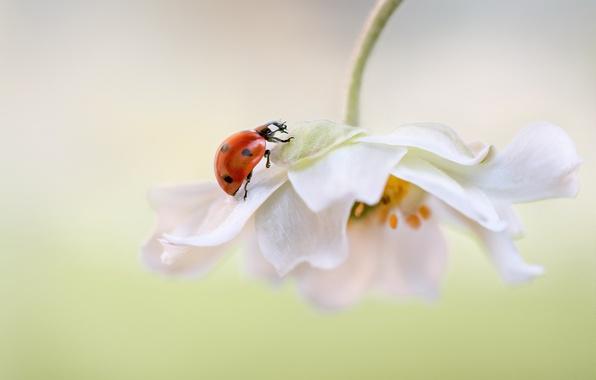 Picture white, flower, background, ladybug, petals