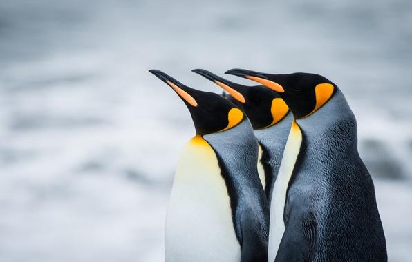 Picture penguins, Antarctica, South Georgia, Royal