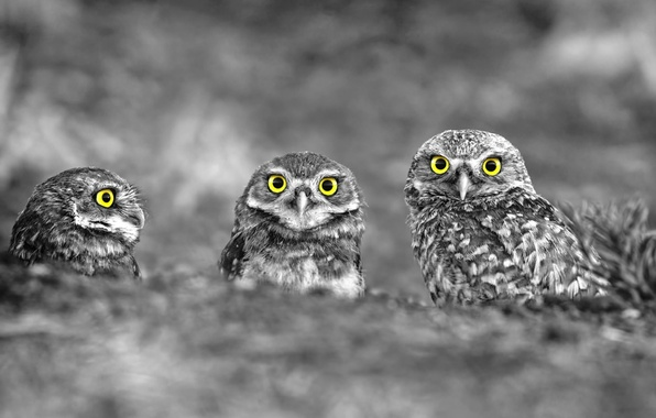 Picture birds, nature, owls