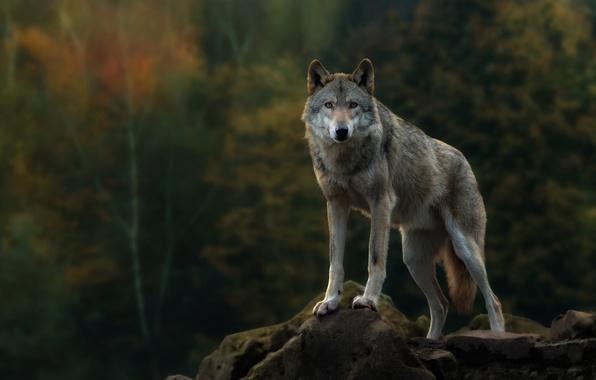 Picture autumn, forest, look, rock, grey, wolf, predator